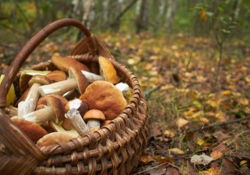 Ne consommez jamais un champignon dont l'identification n'est pas certaine !